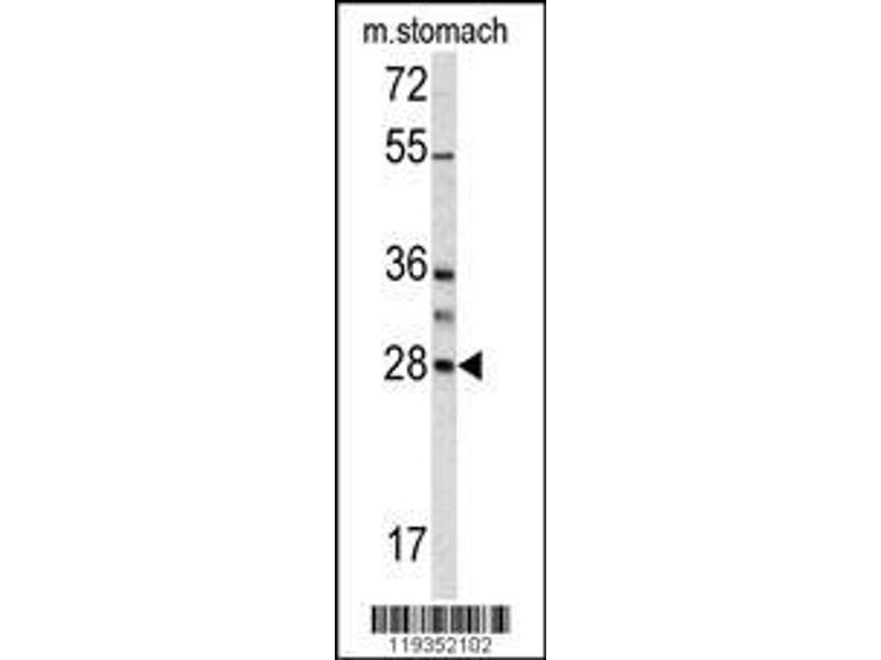 Western Blotting (WB) image for anti-Granzyme B (GZMB) (AA 2-32), (N-Term) antibody (ABIN390495)