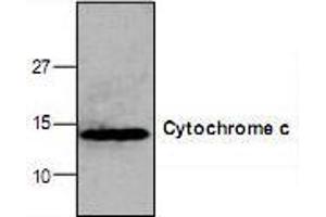 Western Blotting (WB) image for anti-Cytochrome C antibody (Cytochrome C, Somatic) (ABIN223077)