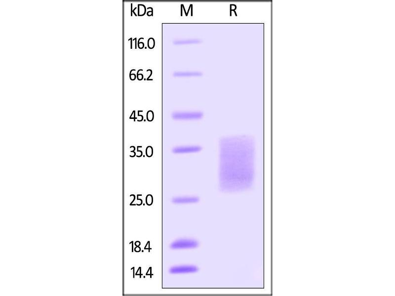 SDS-PAGE (SDS) image for KIT Ligand (KITLG) (AA 26-190) (Active) protein (AVI tag,Biotin,His tag) (ABIN4949036)