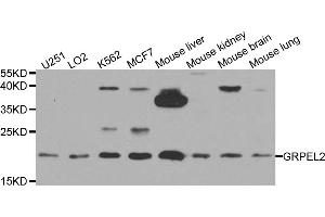 Image no. 1 for anti-GrpE-Like 2, Mitochondrial (E. Coli) (GRPEL2) antibody (ABIN6571685)