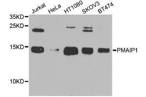 Image no. 1 for anti-Phorbol-12-Myristate-13-Acetate-Induced Protein 1 (PMAIP1) antibody (ABIN6572014)