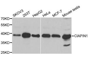Image no. 4 for anti-Cytokine Induced Apoptosis Inhibitor 1 (CIAPIN1) antibody (ABIN6138619)