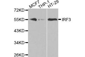 Western Blotting (WB) image for anti-Interferon Regulatory Factor 3 (IRF3) antibody (ABIN3023115)