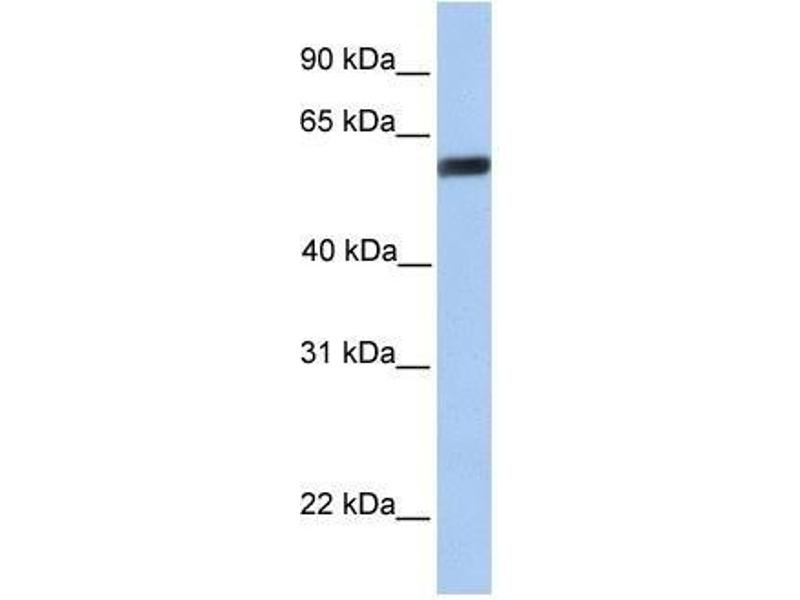 Western Blotting (WB) image for anti-YAP1 antibody (Yes-Associated Protein 1) (C-Term) (ABIN928378)