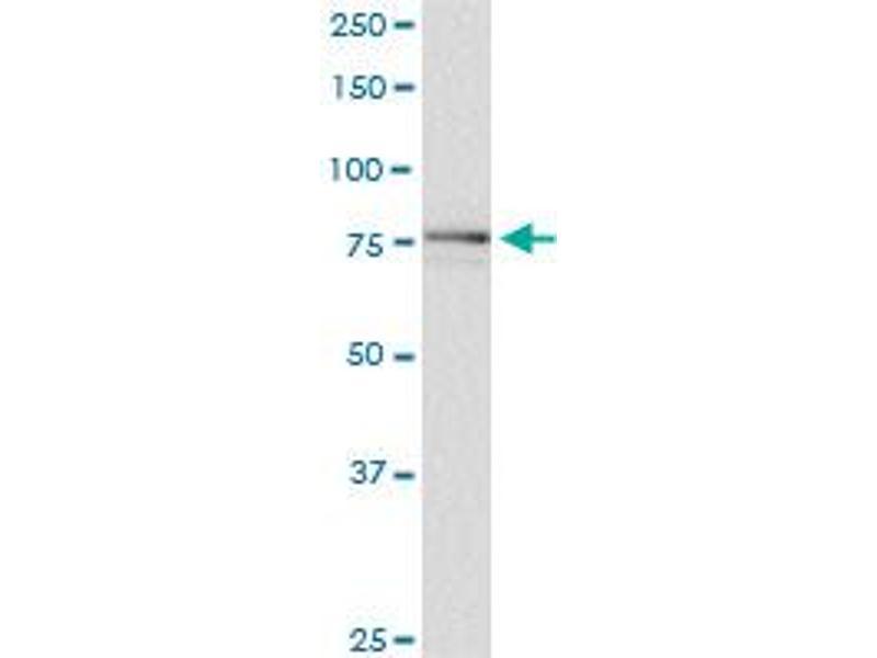 Western Blotting (WB) image for anti-SCYL1 antibody (SCY1-Like 1 (S. Cerevisiae)) (AA 373-472) (ABIN528172)