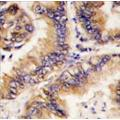 anti-TRAPPC4 antibody (Trafficking Protein Particle Complex 4) (N-Term)