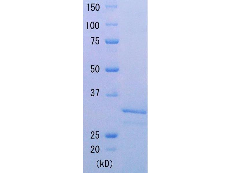 SDS-PAGE (SDS) image for Taq SSB (Active) protein (ABIN2452212)