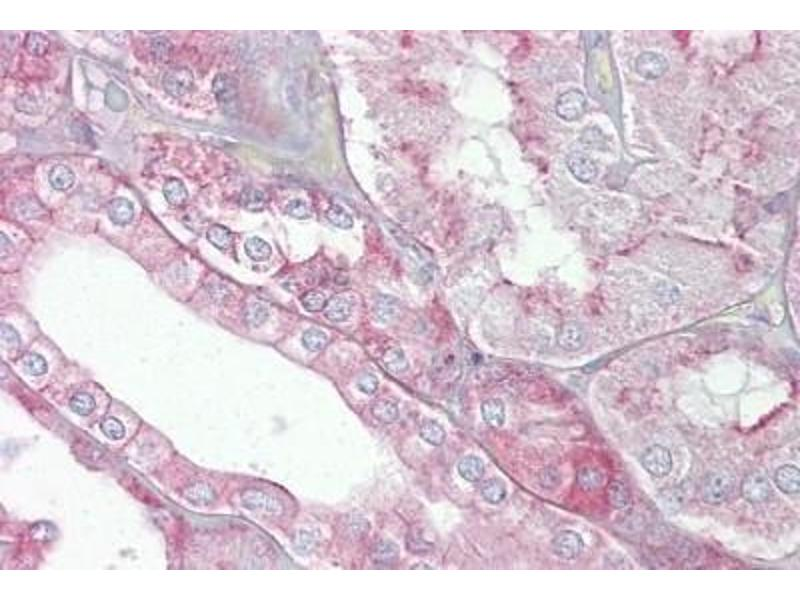 Immunohistochemistry (Paraffin-embedded Sections) (IHC (p)) image for anti-Spectrin alpha Chain, Brain (SPTAN1) (N-Term) antibody (ABIN4890135)