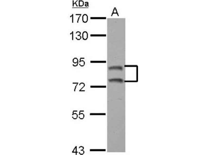 Western Blotting (WB) image for anti-Exocyst Complex Component 3 (EXOC3) (C-Term) antibody (ABIN4352419)