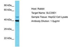 Image no. 1 for anti-Solute Carrier Family 35, Member E1 (SLC35E1) (AA 323-372) antibody (ABIN6750684)