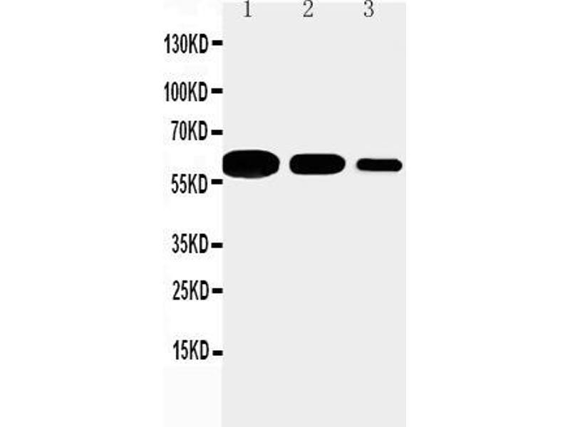 Western Blotting (WB) image for anti-CD40 Molecule, TNF Receptor Superfamily Member 5 (CD40) (AA 22-36), (N-Term) antibody (ABIN3043683)