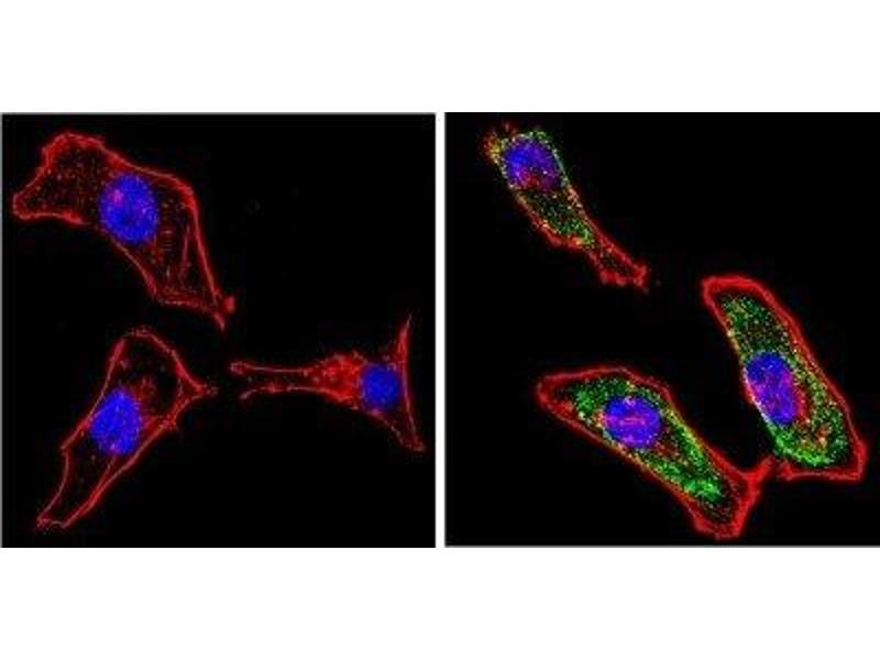 Immunofluorescence (IF) image for anti-Galectin 3 antibody (Lectin, Galactoside-Binding, Soluble, 3) (ABIN152697)