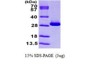 Image no. 1 for Triosephosphate Isomerase 1 (TPI1) (AA 1-249) protein (His tag) (ABIN667249)