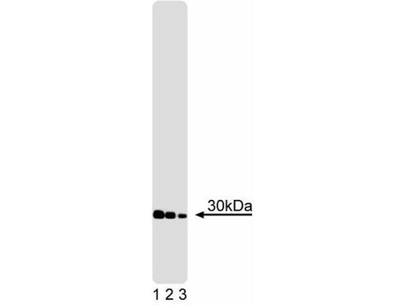 Western Blotting (WB) image for anti-YWHAQ antibody (tyrosine 3-Monooxygenase/tryptophan 5-Monooxygenase Activation Protein, theta Polypeptide) (ABIN967554)