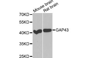 Image no. 1 for anti-Growth Associated Protein 43 (GAP43) antibody (ABIN2562759)