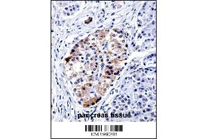 Image no. 3 for anti-Vesicle-Associated Membrane Protein 3 (VAMP3) (AA 15-43) antibody (ABIN5534061)