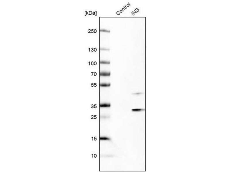 Western Blotting (WB) image for anti-Insulin (INS) antibody (ABIN4326017)