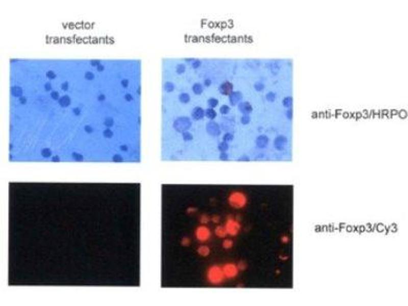 Immunofluorescence (IF) image for anti-Forkhead Box P3 (FOXP3) antibody (ABIN188539)