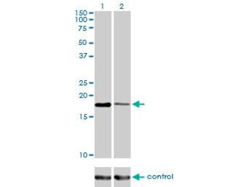 Western Blotting (WB) image for anti-Baculoviral IAP Repeat-Containing 5 (BIRC5) (AA 1-100), (partial) antibody (ABIN559893)