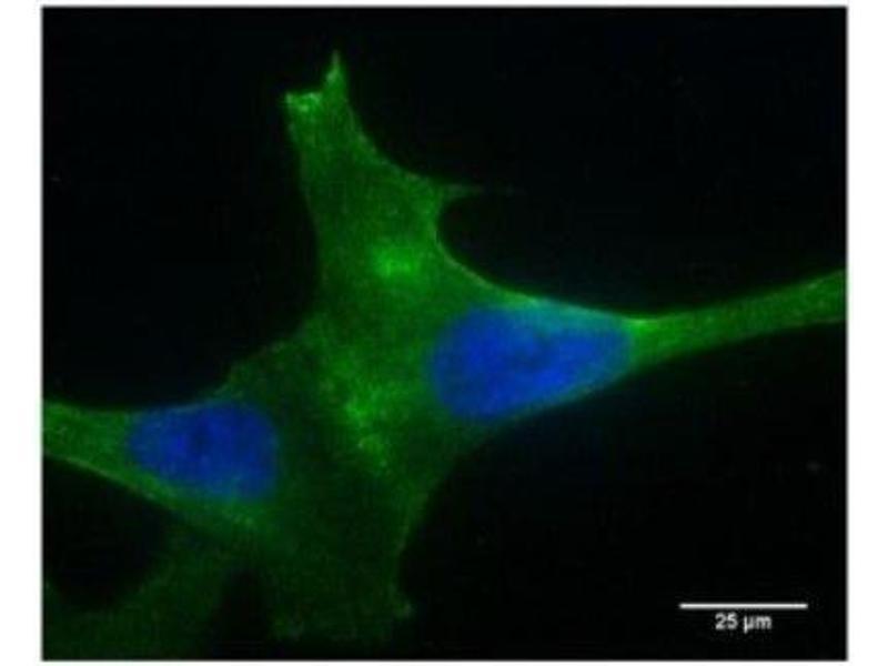 Immunofluorescence (IF) image for anti-phospholipase A2 Receptor 1, 180kDa (PLA2R1) (N-Term) antibody (ABIN4345963)
