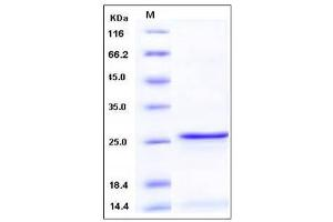 image for S100 Calcium Binding Protein A9 (S100A9) (Native Form), (AA 1-114) protein (ABIN2004018)