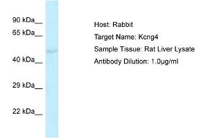 Image no. 1 for anti-Potassium Voltage-Gated Channel, Subfamily G, Member 4 (Kcng4) (Middle Region) antibody (ABIN2776312)