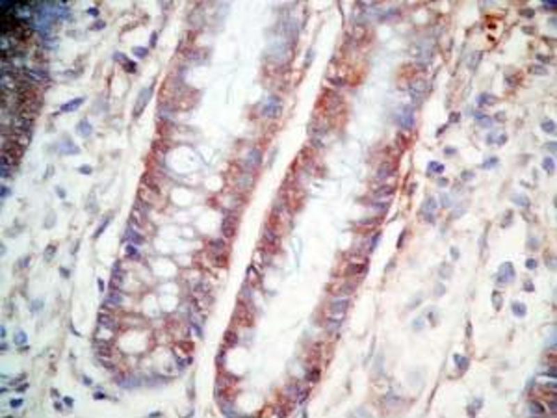 Immunohistochemistry (IHC) image for anti-Cholecystokinin (CCK) (AA 26-33), (non-sulfated) antibody (ABIN2873213)