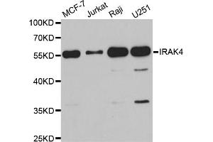Western Blotting (WB) image for anti-Interleukin-1 Receptor-Associated Kinase 4 (IRAK4) antibody (ABIN2968760)