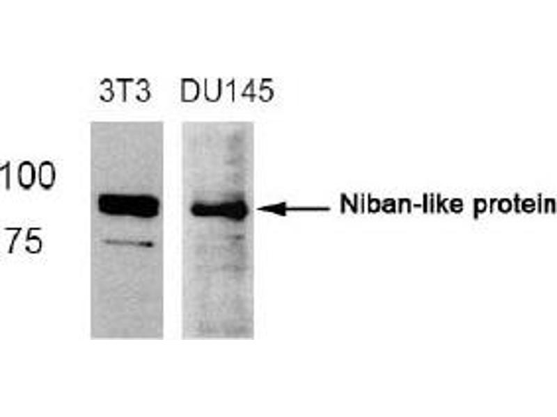image for anti-Family with Sequence Similarity 129, Member B (FAM129B) (Ser712) antibody (ABIN319365)