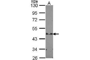 Image no. 2 for anti-Signal Transducing Adaptor Family Member 2 (STAP2) (C-Term) antibody (ABIN2856300)
