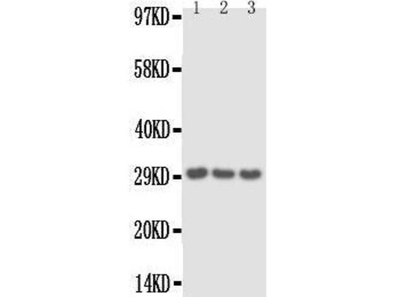 Western Blotting (WB) image for anti-IL1A antibody (Interleukin 1 alpha) (AA 256-270) (ABIN3042609)