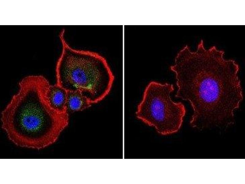 Immunofluorescence (IF) image for anti-Aryl Hydrocarbon Receptor (AHR) antibody (ABIN152689)