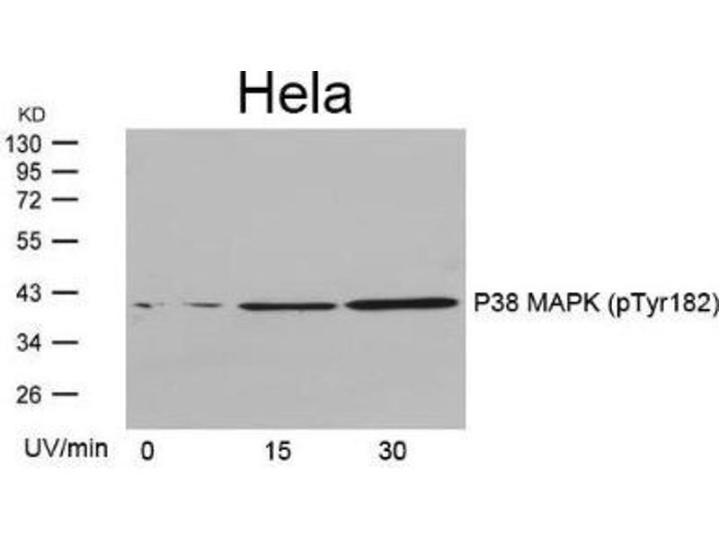 Western Blotting (WB) image for anti-MAP kinase p38 (p38) (pTyr182) antibody (ABIN4342687)