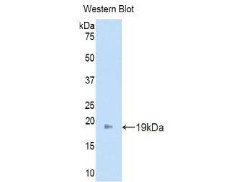 Western Blotting (WB) image for anti-Angiopoietin 2 (ANGPT2) (AA 19-147) antibody (ABIN1171928)