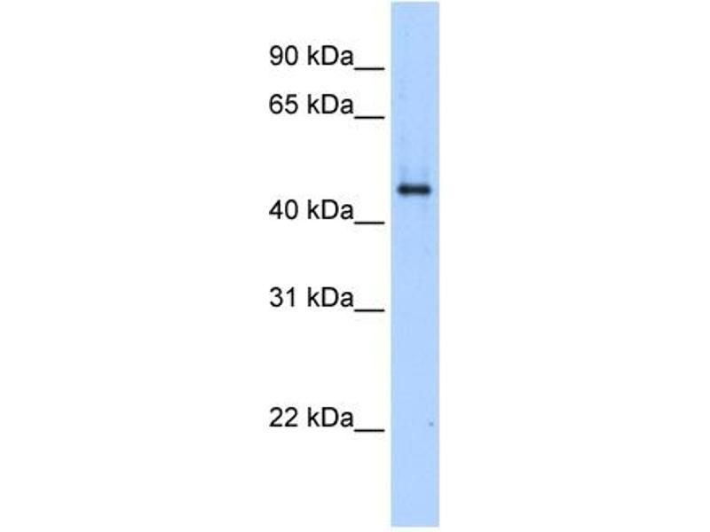 Western Blotting (WB) image for anti-SERPINE1 antibody (serpin Peptidase Inhibitor, Clade E (Nexin, Plasminogen Activator Inhibitor Type 1), Member 1) (N-Term) (ABIN2782976)