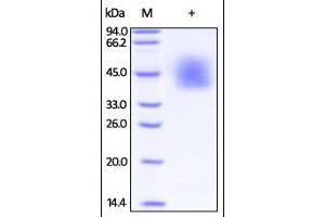 Image no. 1 for Inducible T-Cell Co-Stimulator Ligand (ICOSLG) (AA 19-258) (Active) protein (His tag) (ABIN2181242)