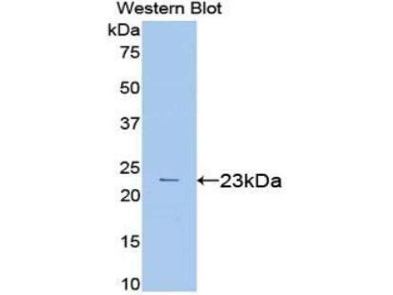 Western Blotting (WB) image for anti-Vascular Endothelial Growth Factor A (VEGFA) (AA 27-190) antibody (ABIN2905440)