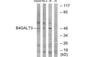 Western Blotting (WB) image for anti-UDP-Gal:betaGlcNAc beta 1,4- Galactosyltransferase, Polypeptide 3 (B4GALT3) (Internal Region) antibody (ABIN1850910)