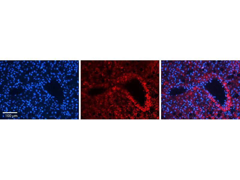 Immunohistochemistry (IHC) image for anti-Macrophage Stimulating 1 (Hepatocyte Growth Factor-Like) (MST1) (N-Term) antibody (ABIN2782338)