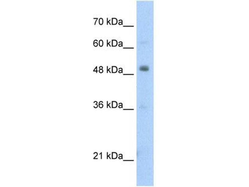 Western Blotting (WB) image for anti-PBX3 (N-Term) antibody (ABIN309637)