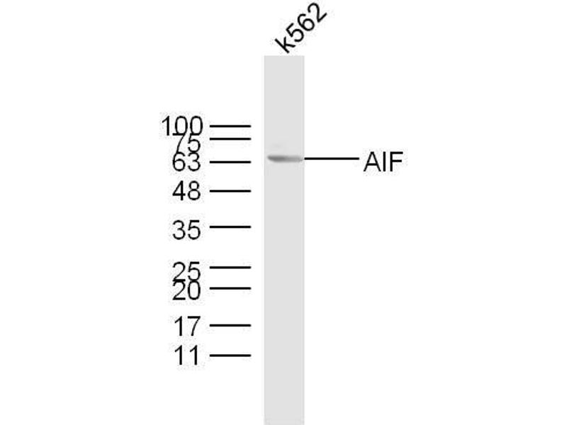 Image no. 6 for anti-Apoptosis-Inducing Factor, Mitochondrion-Associated, 1 (AIFM1) (AA 130-180) antibody (ABIN724010)