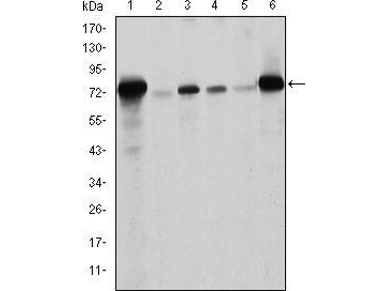Western Blotting (WB) image for anti-Lamin A/C (LMNA) antibody (ABIN969260)