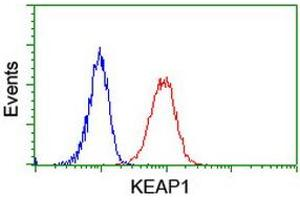 Image no. 6 for anti-Kelch-Like ECH-Associated Protein 1 (KEAP1) antibody (ABIN1499016)