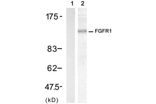 Western blot analysis of extract from 3T3 cell, using FGF Receptor 1 (Ab-154) Antibody (E021231, Lane 1 and 2).