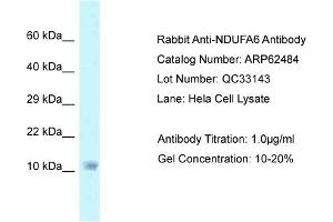 Image no. 1 for anti-NADH Dehydrogenase (Ubiquinone) 1 alpha Subcomplex, 6, 14kDa (NDUFA6) (C-Term) antibody (ABIN2789159)