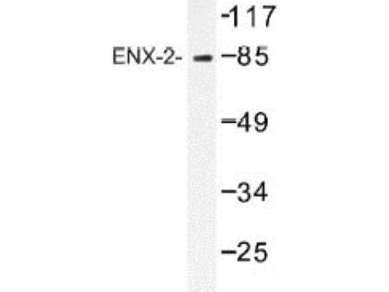 Western Blotting (WB) image for anti-Annexin V antibody (Annexin A5) (ABIN408254)