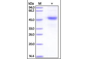 Image no. 1 for Tetraspanin 26 (TSPAN26) (AA 113-240) protein (Fc Tag) (ABIN2180765)