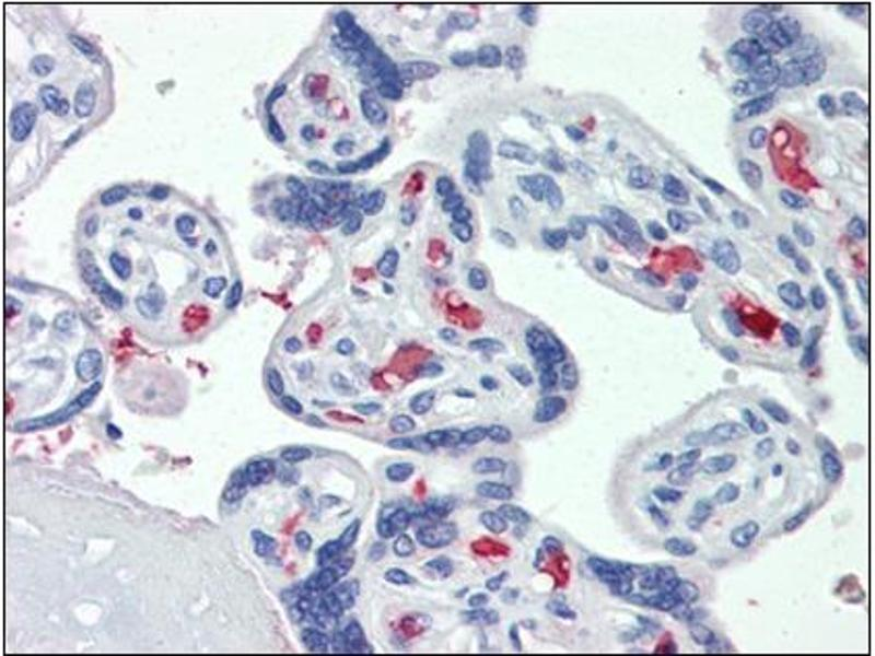 Immunohistochemistry (Paraffin-embedded Sections) (IHC (p)) image for anti-C-Type Lectin Domain Family 2, Member D (CLEC2D) antibody (ABIN615439)