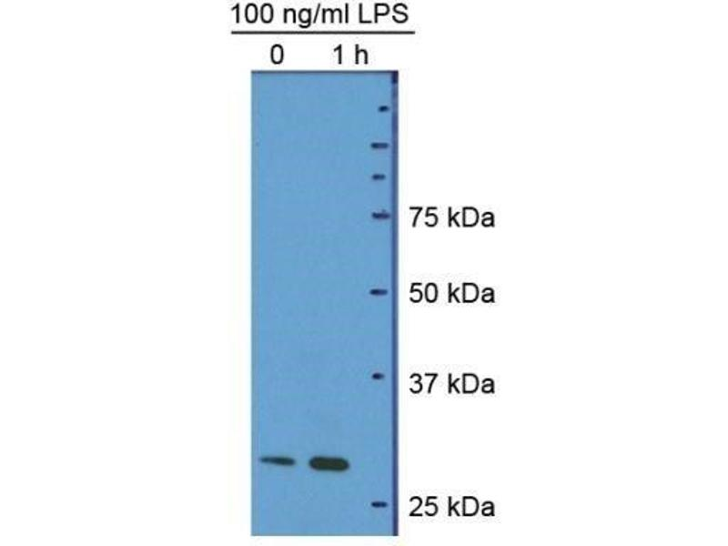 Western Blotting (WB) image for anti-High-Mobility Group Box 1 (HMGB1) (A Box Domain), (AA 9-79), (full length) antibody (ABIN4319340)