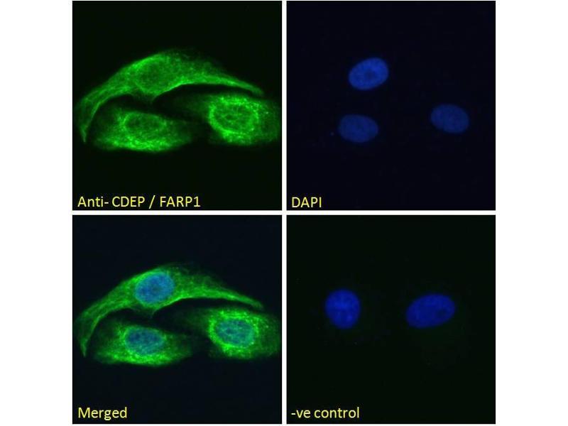 Image no. 1 for anti-FERM, RhoGEF (ARHGEF) and Pleckstrin Domain Protein 1 (Chondrocyte-Derived) (FARP1) (N-Term) antibody (ABIN185104)